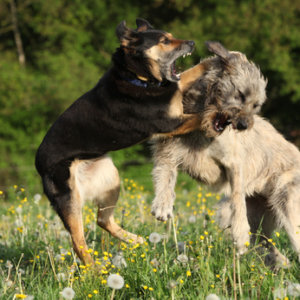 Two dogs fighting with each other in yellow flowers and past blossom dandelions