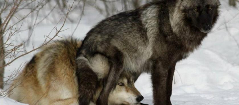 Hunde sind schlechtere Problemlöser als Wölfe